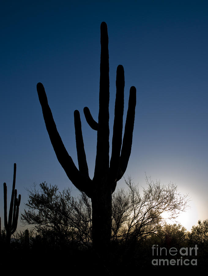 Arizona Cacti, 2008 by Carol Highsmith