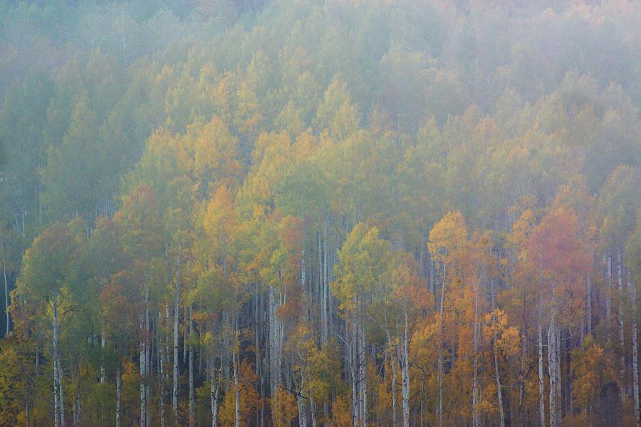 Aspen Trees In Fog by John De Bord