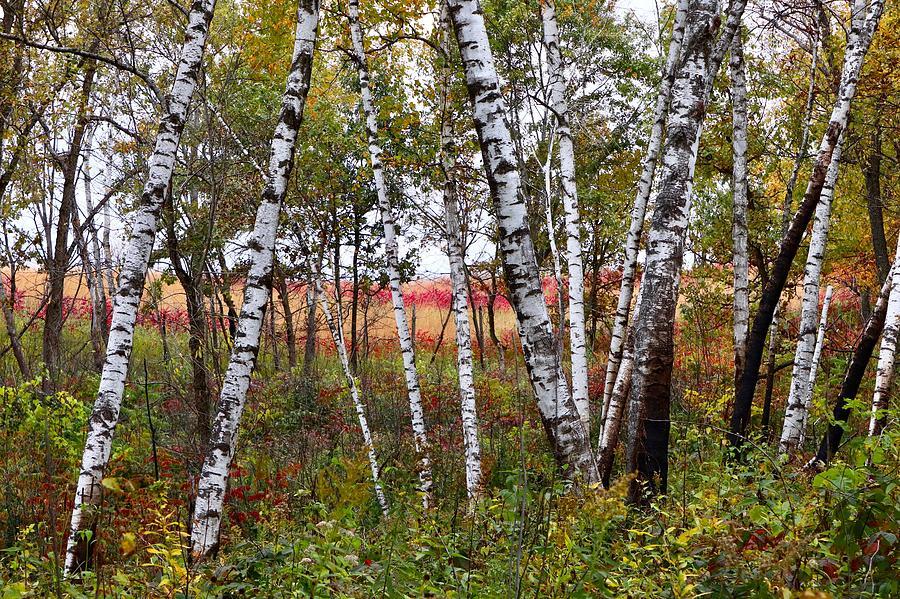Autumn Birch Grove by Sarah Lilja