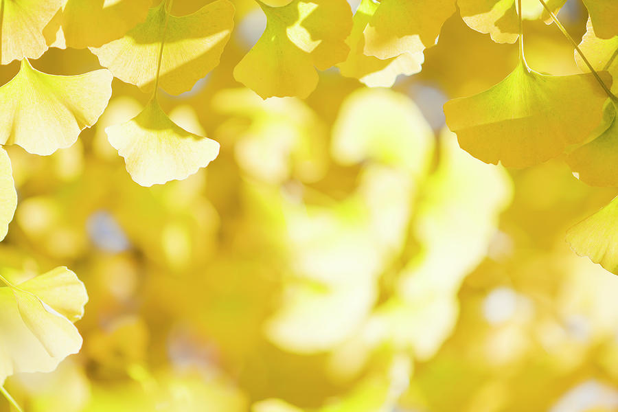 Autumn Ginkgo Leaves Photograph by Ooyoo
