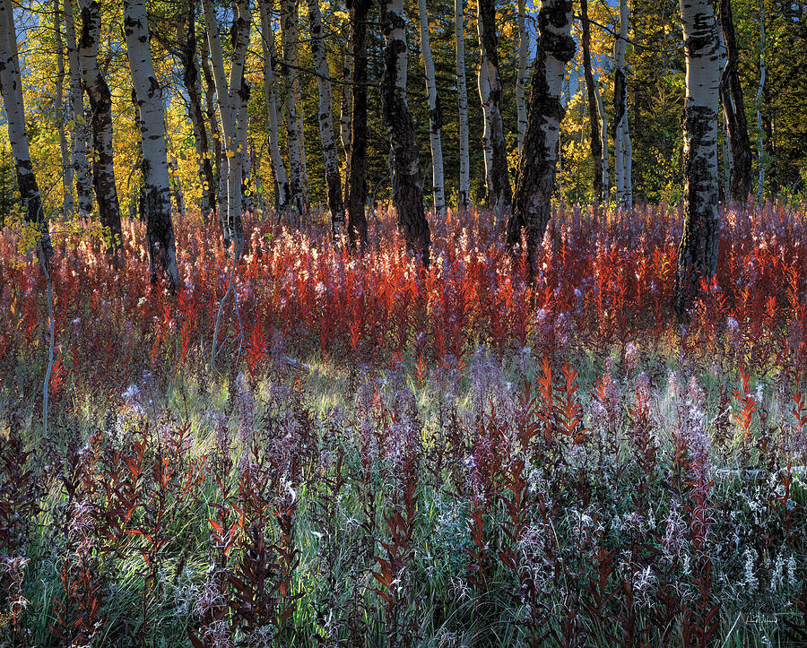 Fireweed Photograph - Autumn Light by Leland D Howard