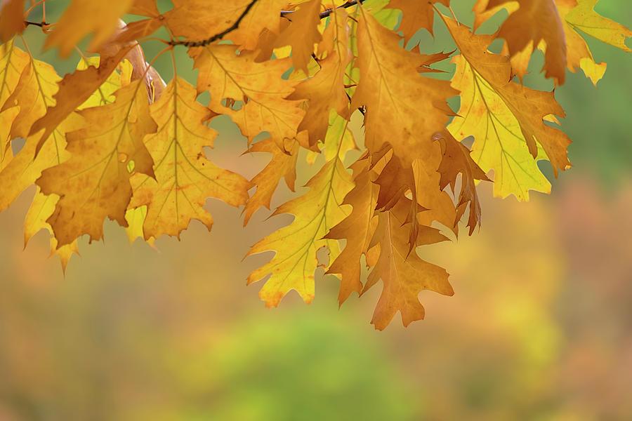 Autumn Oak Leaves Photograph - Autumn Oak Leaves by Cora Niele