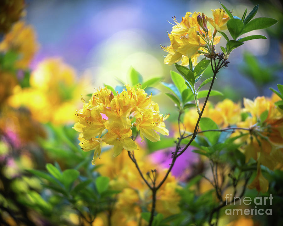 Azaleas Golden Light by Mike Reid