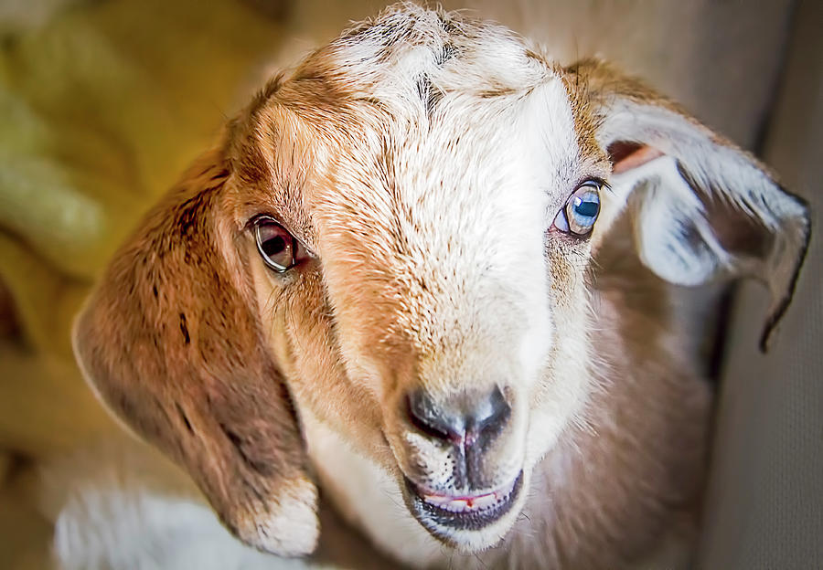 Baby Goat by Natalie Rotman Cote