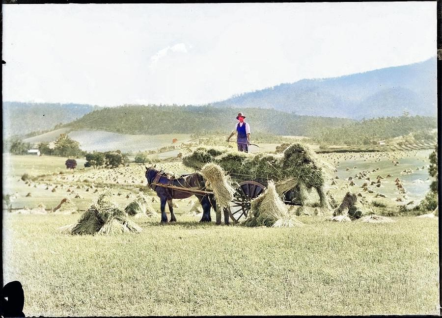 Bailing Hay Onto Horse And Cart, Tasmania C1900s Colorized By Ahmet Asar Painting