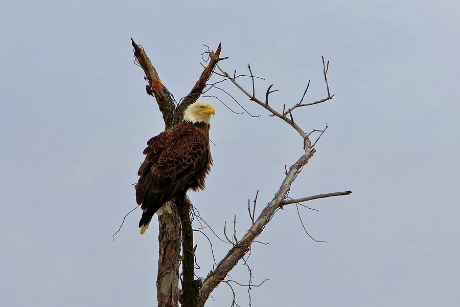 Bald Eagle 1 by Dead Cypress Photography