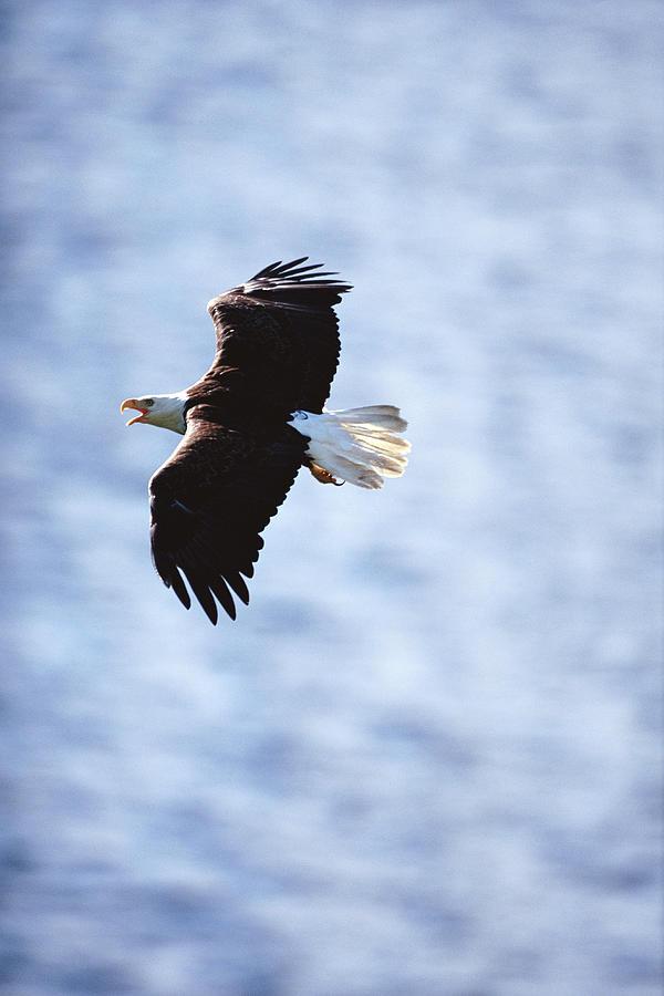 Bald Eagle Haliaeetus Leucocephalus In Photograph by Art Wolfe