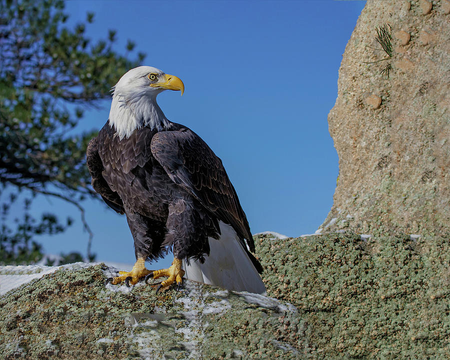 Bald Eagle on Moss Rock by Dawn Key
