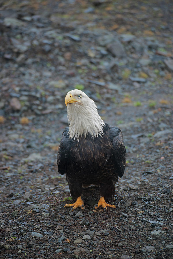 Bald Eagle Sand Point, Alaska Photograph