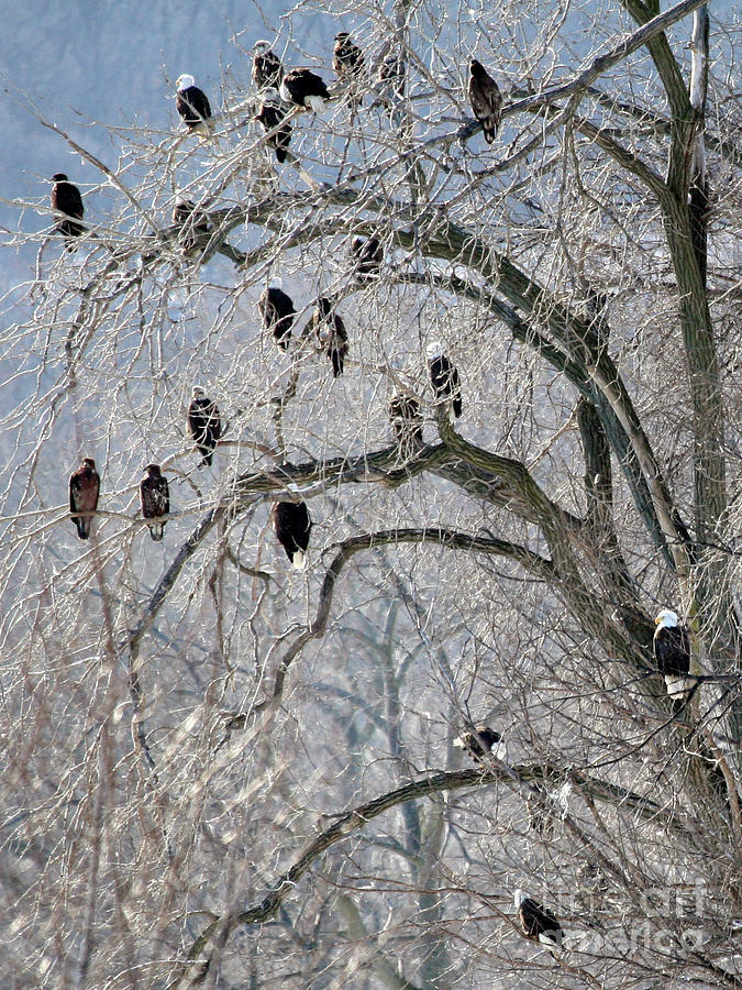 Bald Eagles at Starved Rock by Paula Guttilla