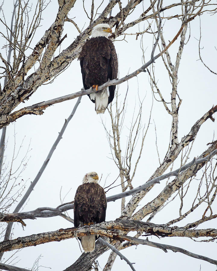 Bald Eagles by Michael Chatt