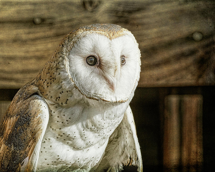 Barn Owl Portrait by Lowell Monke