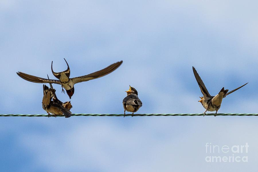 Cornwall Photograph - Barn Swallow Chicks by Paul Williams/science Photo Library