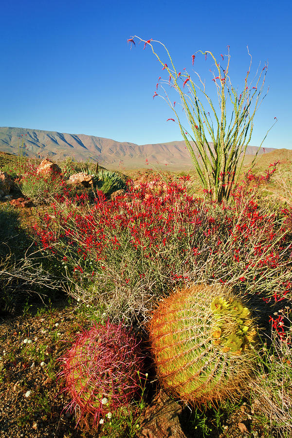 Anza Borrego Photograph - Barrel Cactus And Cholla In Plum 1 by Russ Bishop