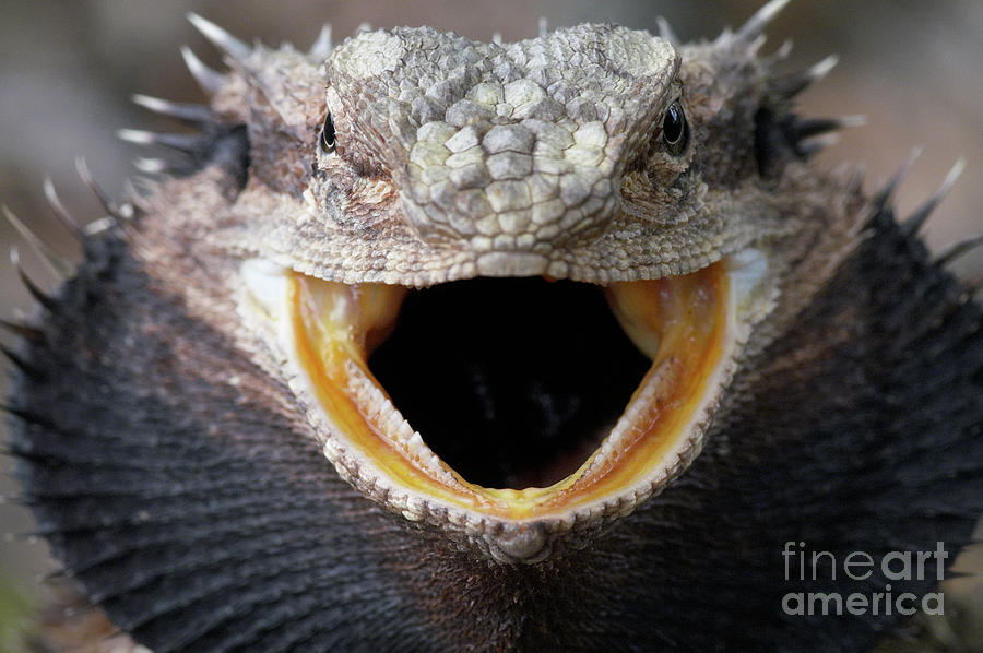 Bearded Dragon Photograph by Byronsdad