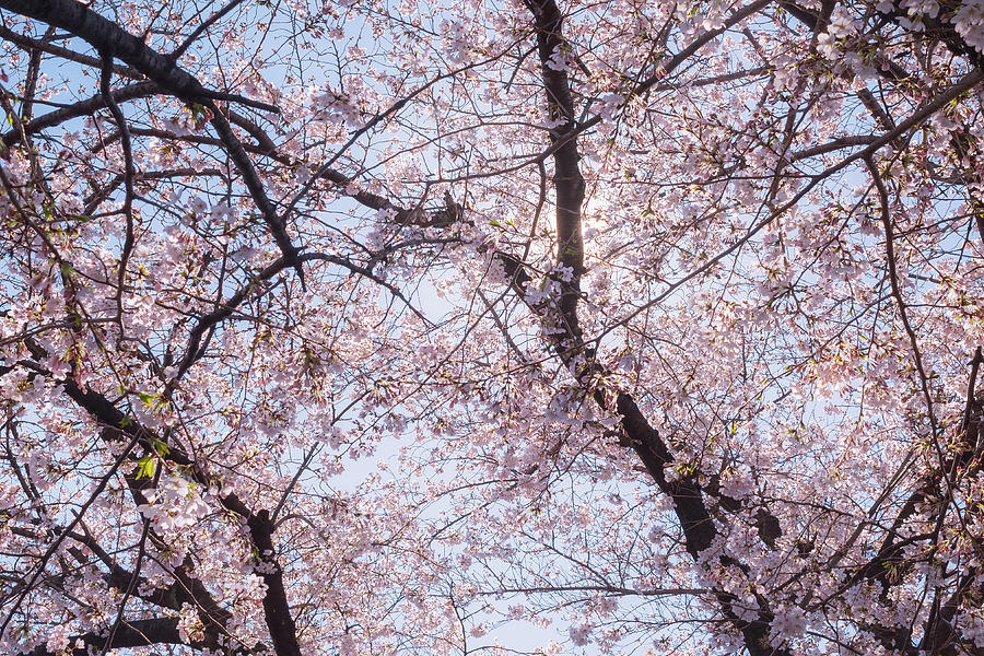 Beautiful Japanese Sakura Cherry Blossom Trees During Spring In