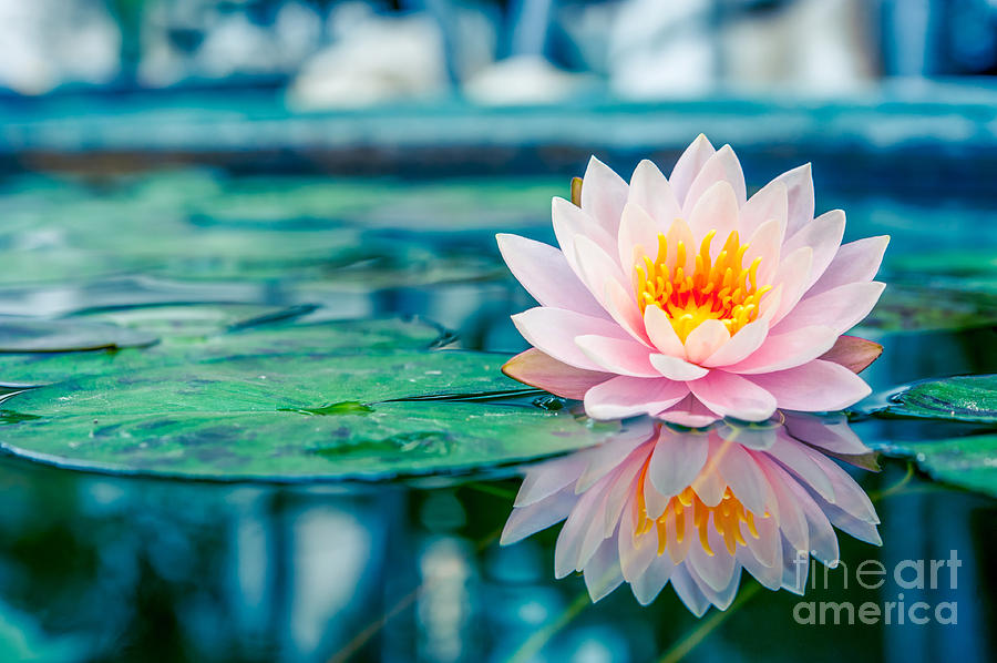 Pond Photograph - Beautiful Pink Lotus, Water Plant With by Vasin Lee