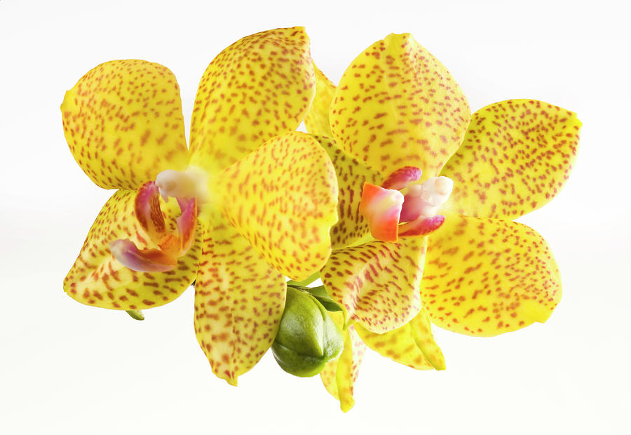 Beautiful Yellow Orchid On White Photograph by Digihelion