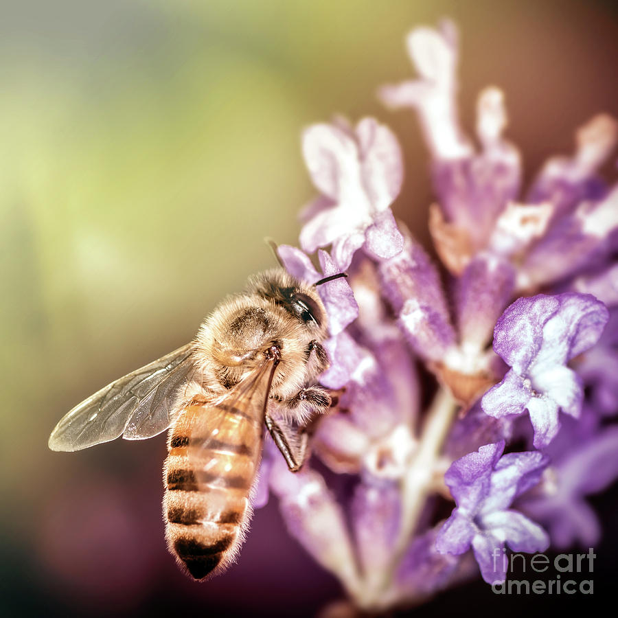 Bee insect foraging pollination process on lavender flower by Gregory DUBUS