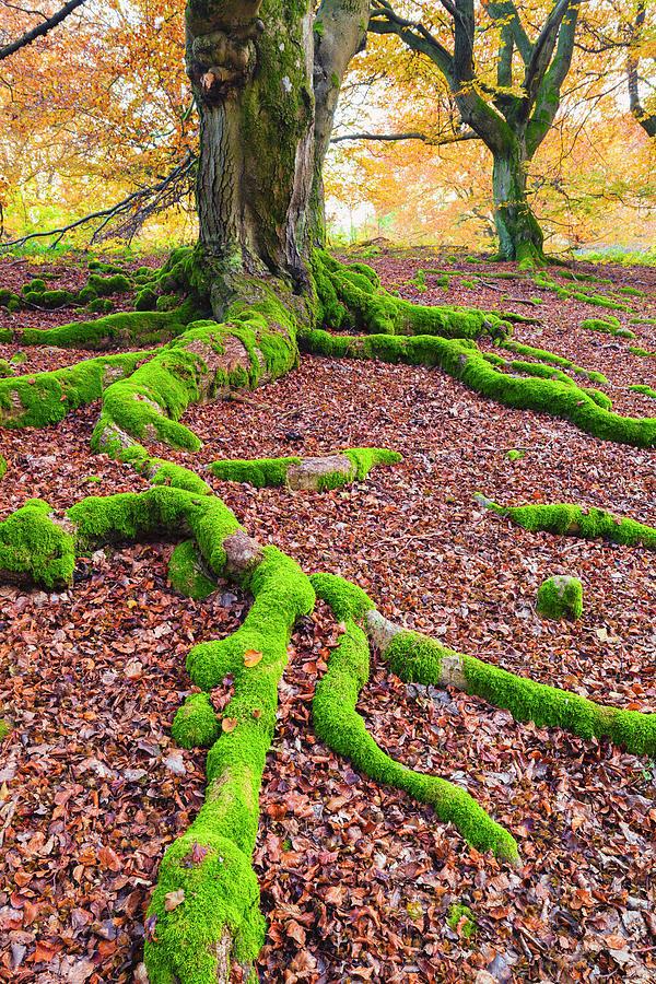 Beech Tree, Kellerwald-edersee National Photograph by F. Lukasseck