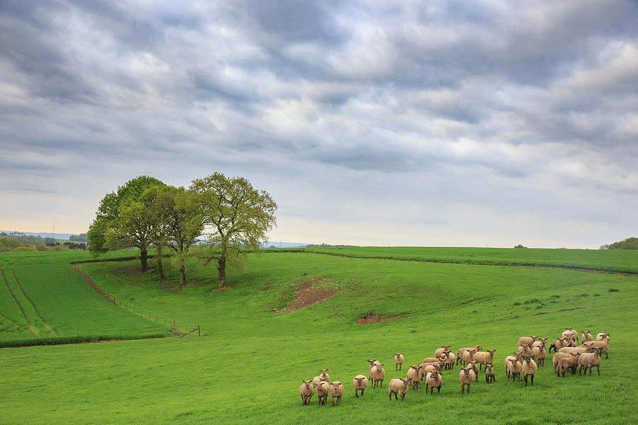 Belgian Sheep Photograph