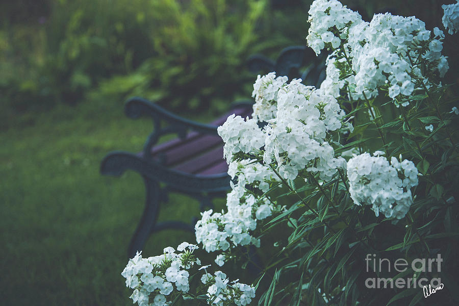 Bench and Phlox by Alana Ranney
