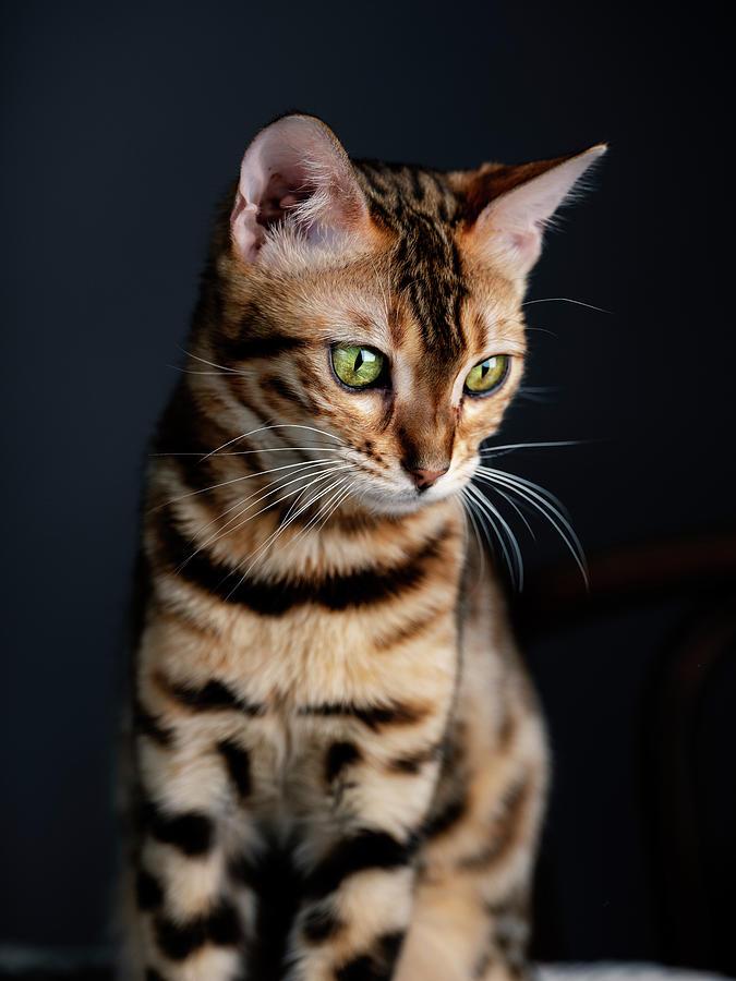 Bengal Cat Portrait by Nailia Schwarz