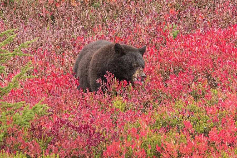 Berries for the Bear by E Faithe Lester