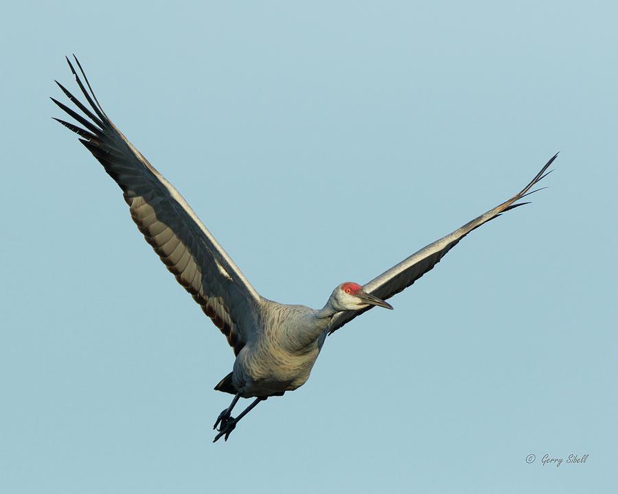Big Bird by Gerry Sibell