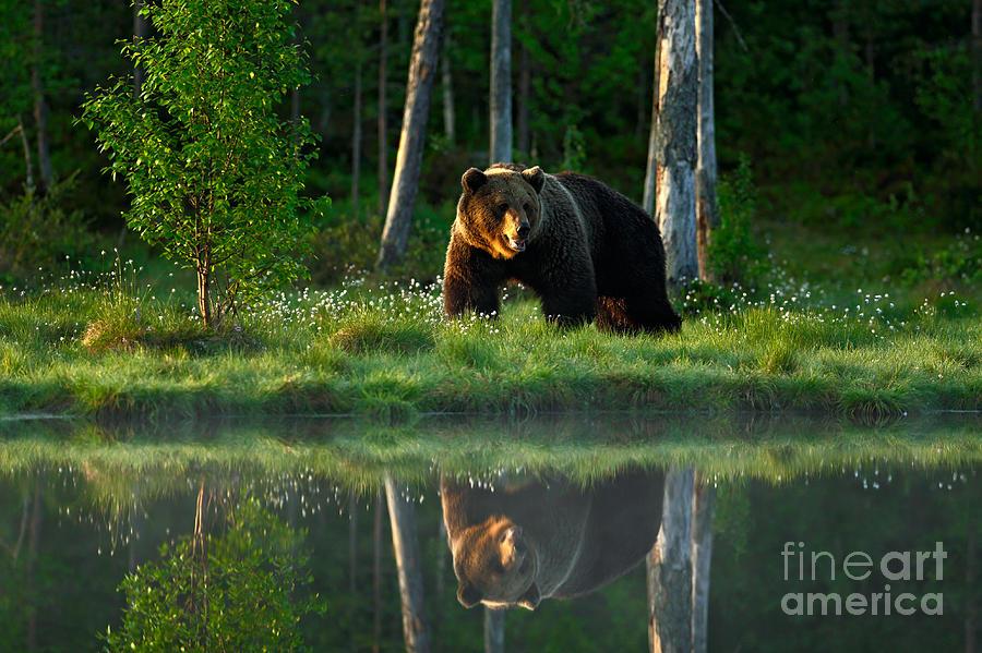 Big Photograph - Big Brown Bear Walking Around Lake In by Ondrej Prosicky