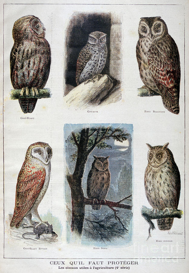 Birds That Are Protected, And Helpful Drawing by Print Collector