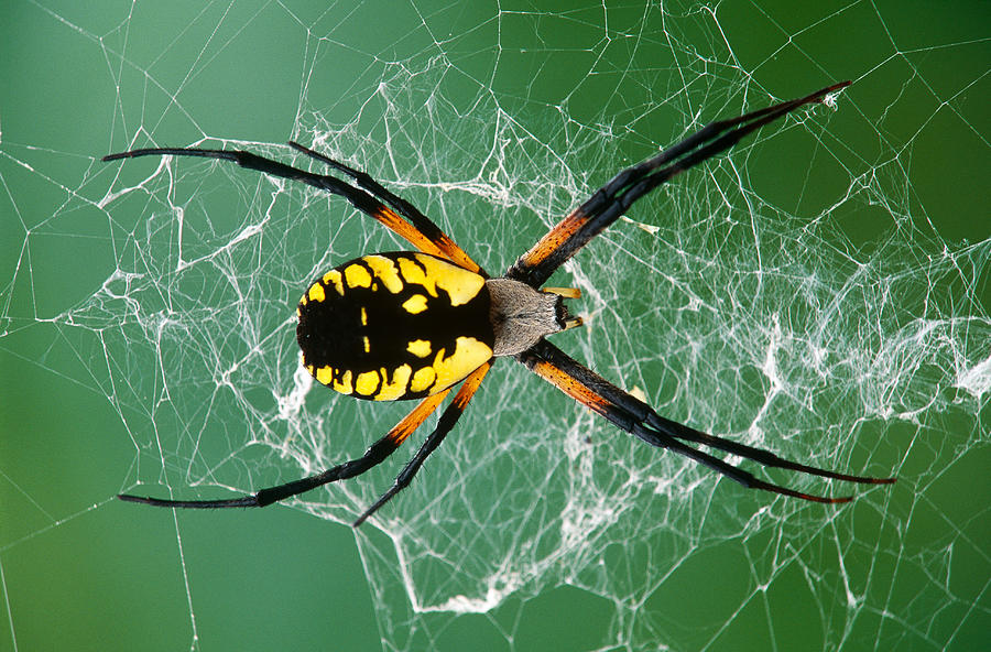 Black-and-yellow Argiope Spider by MICHAEL LUSTBADER