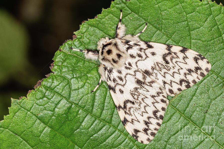 Black Arches moth by Brian Roscorla