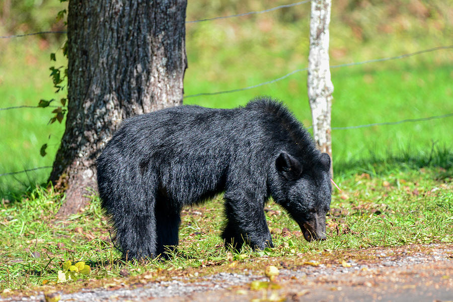 Black Bear by Bill Hosford