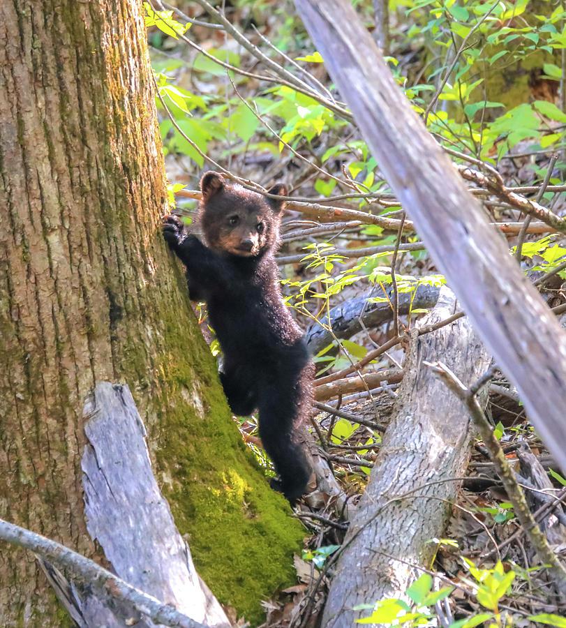 Bear Cub Photograph - Black Bear Cub Climbing A Tree by Dan Sproul
