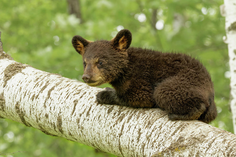 Adam Jones Photograph - Black Bear Cub In Tree, Ursus by Adam Jones