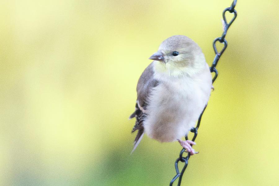 Black-capped Chickadee Feeding On Seed Photograph