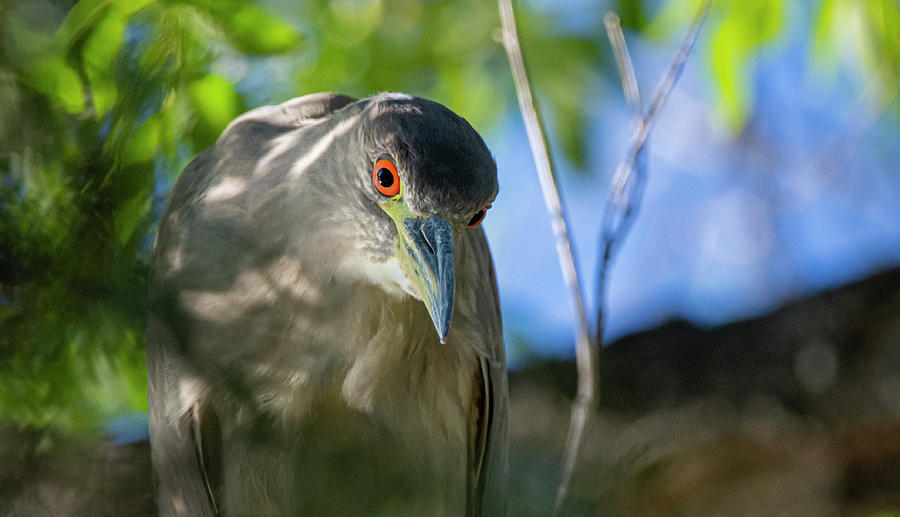Black Crowned Night Heron 1  by Rick Mosher