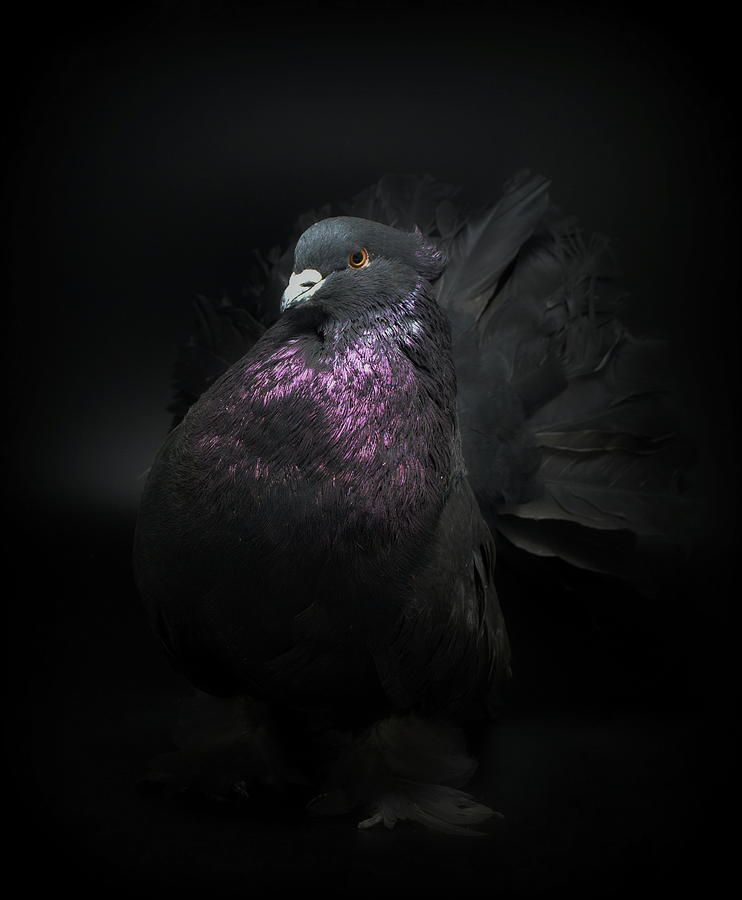 Black Indian Fantail Pigeon by Nathan Abbott