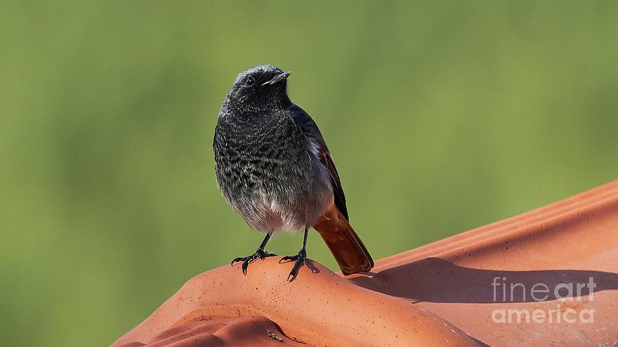 Black Redstart Phoenicurus ochruros Green Background by Pablo Avanzini