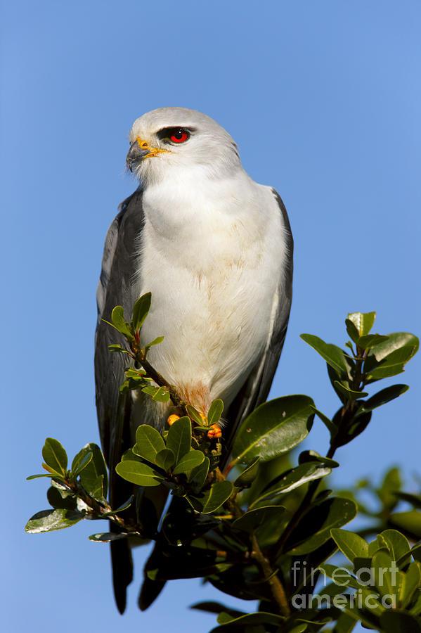 Small Photograph - Black-shouldered Kite - Elanus Caeruleus by Johan Swanepoel