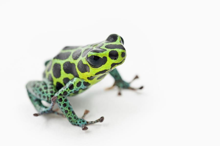 Black Spotted Green Poison Dart Frog Photograph by Design Pics / Corey Hochachka