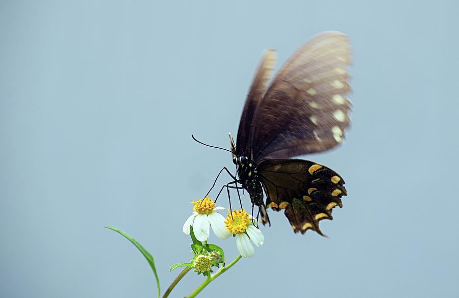 Black Swallowtail by Larah McElroy