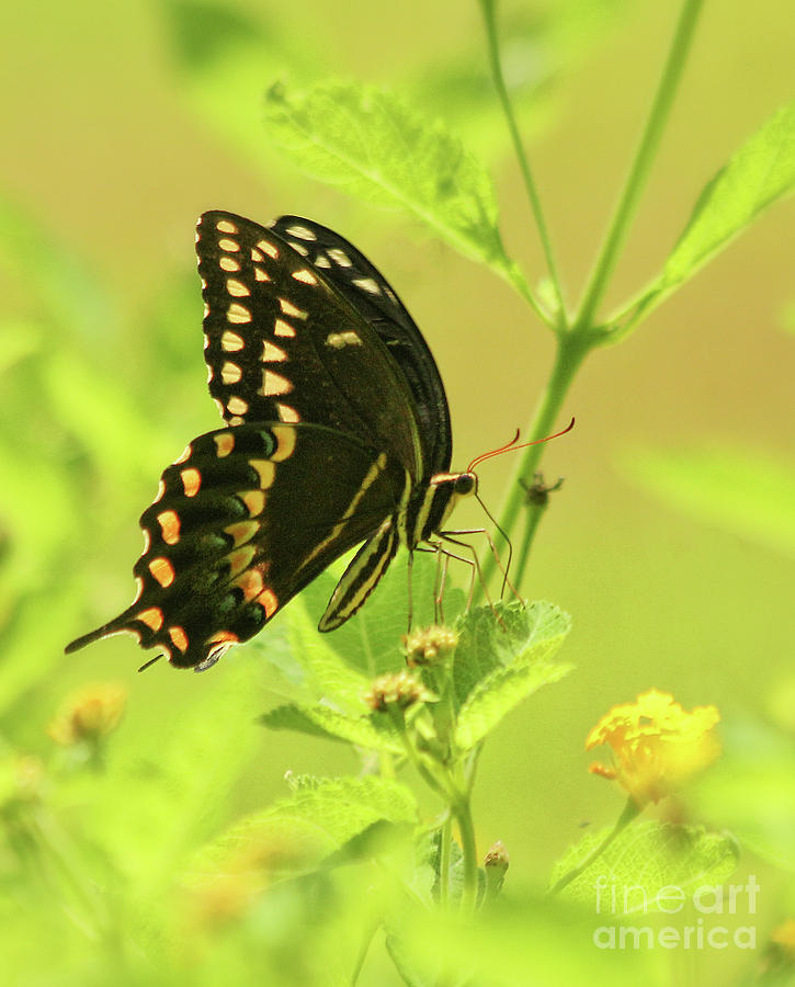Black Swallowtail by Michelle Tinger