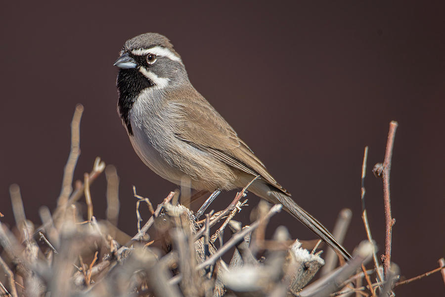 Black-Throated Sparrow by Dan McManus
