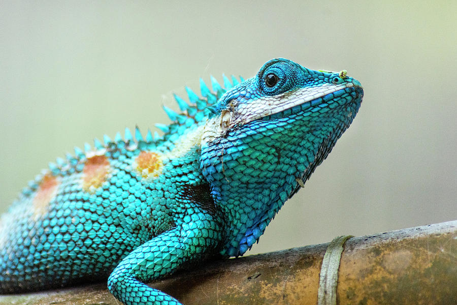 Lizard Photograph - Blue Crested Lizard by Laura J P Richardson