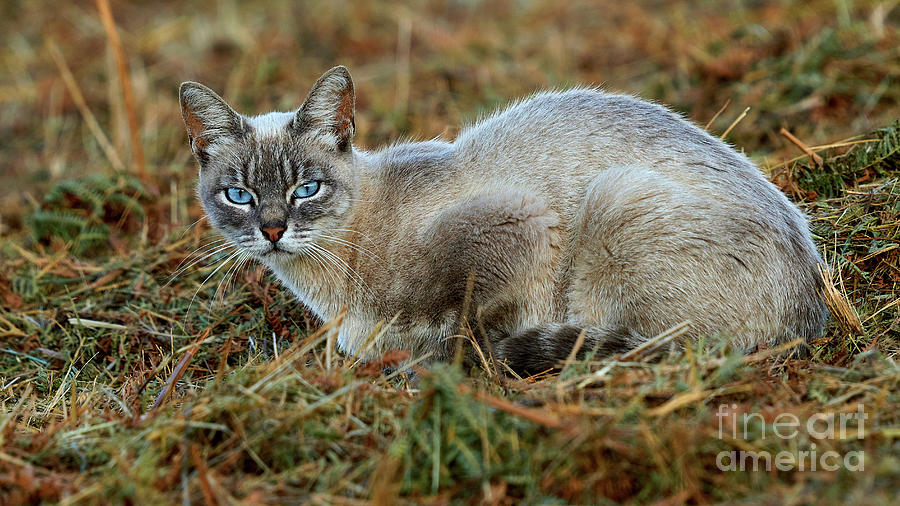 Striped Photograph - Blue-eyed Cat Looking Into Your Eyes by Pablo Avanzini