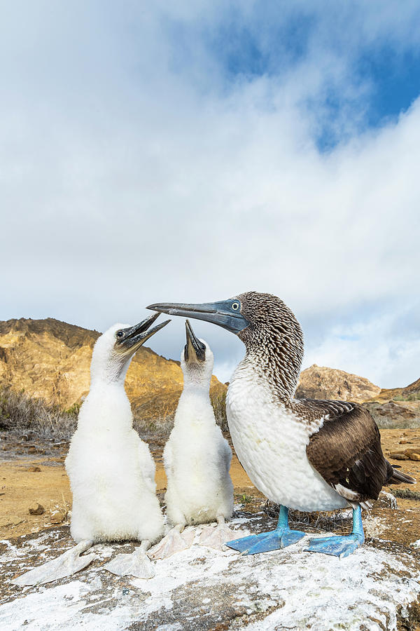 Blue-footed Booby With Begging Chicks Photograph by Tui De Roy