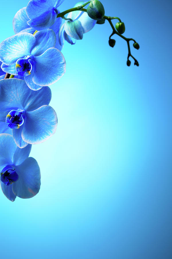 Blue Orchids Photograph by Neoblues