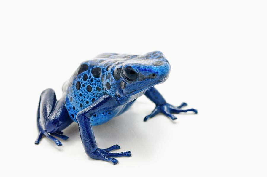 Blue Poison Dart Frog Dendrobates Photograph by Design Pics / Corey Hochachka